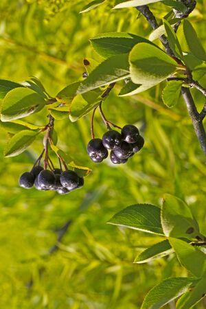 vladimir: Chokeberry in a garden. Vladimir area, Russia