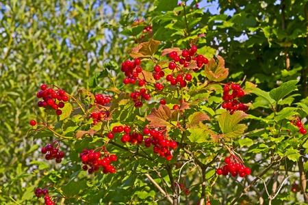 vladimir: Arrowwood in a garden.  Vladimir area, Russia Stock Photo