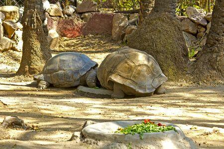 galapagos: Two giant reptilies, galapagos tortoises Stock Photo