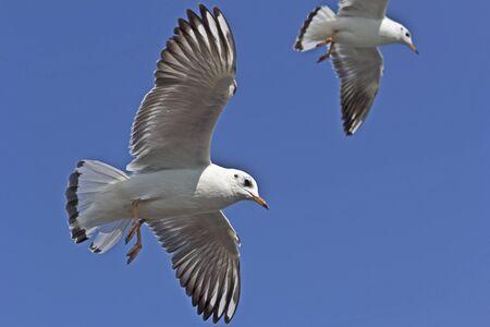 gujarat: Seagulls in blue sky over Arabian sea on the way between Okha and Bet Dwarka island, Gujarat, India