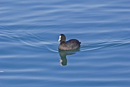 fulica: Floating Eurasian coot, Fulica atra. Sochi sea port Stock Photo