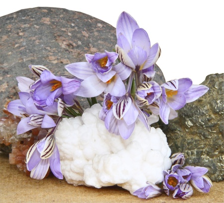 Lilac flowers on stones on a white background  Stock Photo