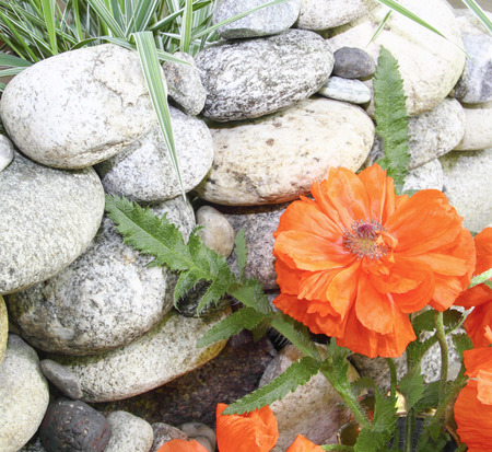 beauteous: Red poppy flower about a stone wall, still life