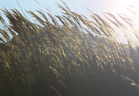 landscape mode: Beautiful yellow ears of corn in the sun, art shooting against the light