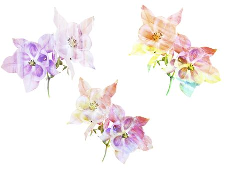 aquilegia: Watercolor painting with abstract flowers Aquilegia, isolated on white background
