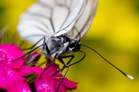white butterfly on a pink  flower photo