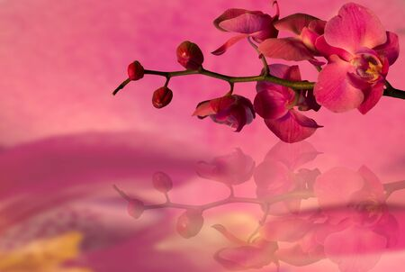 pink orchids  on a pink background