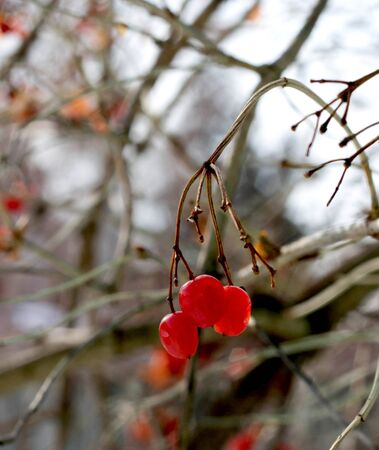 mountain ash:  red berries of mountain ash and tree branches