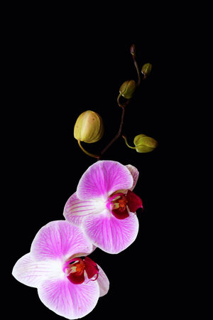 beautiful branch of orchids on a black background