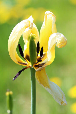 faded yellow tulip petals with black stamens on green natural background