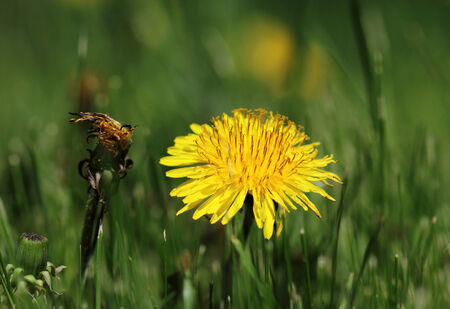 one yellow dandelion beautiful and second Withered dandelion on natural green background
