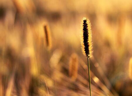 natural background with golden ripe ears Reklamní fotografie