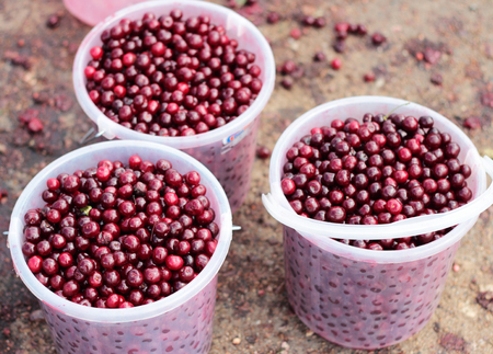 three large buckets full of ripe cherries