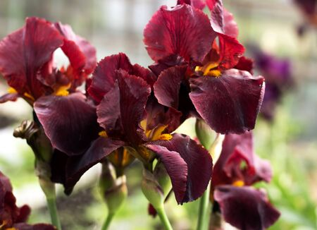 Beautiful flowers with burgundy petals