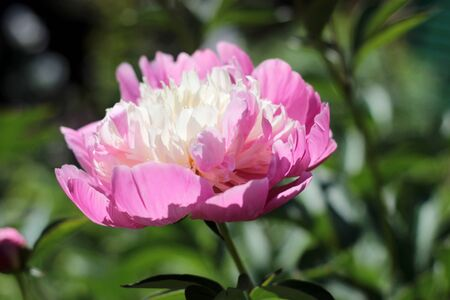 Beautiful flowers with pink petals