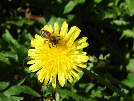 Yellow spring beautiful flower and bee