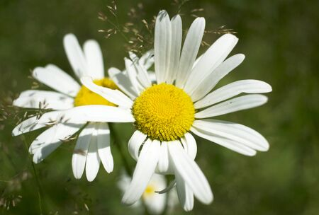 Natural green background with daisies