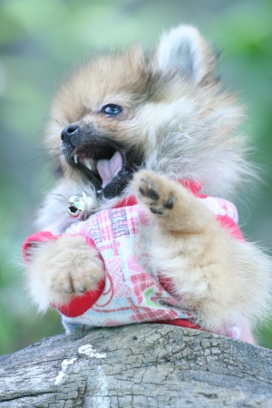 puppy of pomeranian in action Stock Photo - 18821631