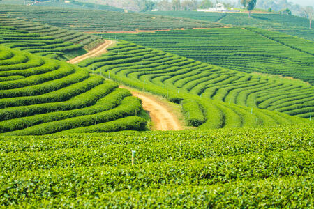 Tea plantations in Thailand photo