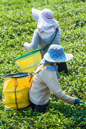 Gardeners are picking tea leaves Stock Photo