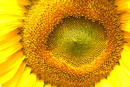 The sunflower head photo
