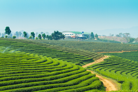 texas tea: Tea plantations in Thailand