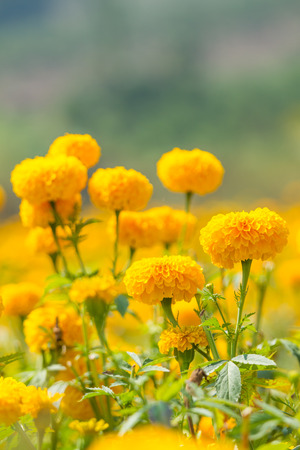 Marigold flower garden photo