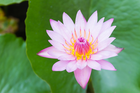 hardy: Hardy Waterlily Stock Photo