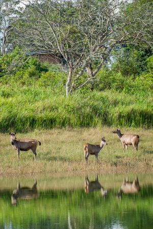 swamp: swamp deer
