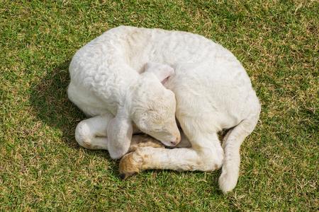sweet dreams: Sweet dreams lamb