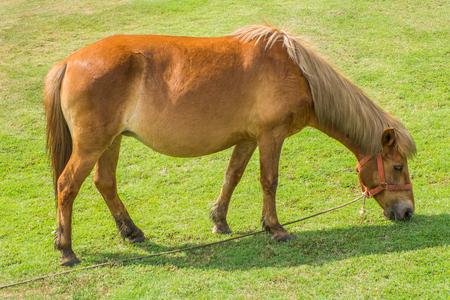 enano: caballo enano