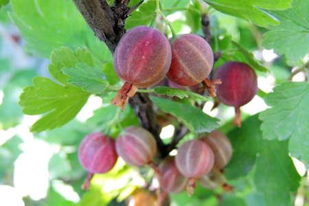 gooseberry: Gooseberry