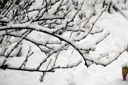 frozen trees: frozen trees branch macro in winter snow