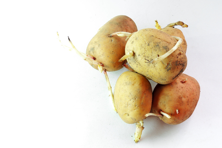 creasy: potato sprouts isolated on white background .