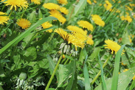 clear away: Dandelion with seeds blowing away in the wind across a clear blue sky with copy space Stock Photo