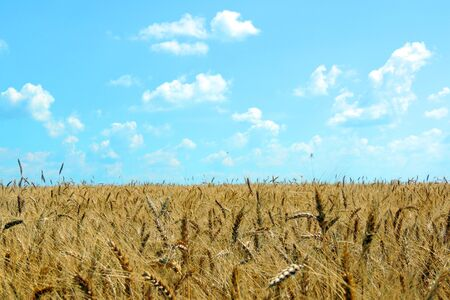 Ripening spikelets of wheat field in the bright sunlight. Very shallow focus Stock Photo
