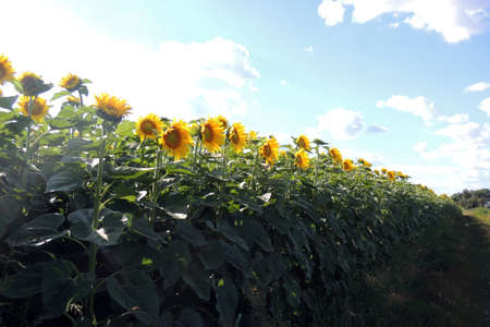 agrar: sunflower field over cloudy blue sky and bright sun lights Stock Photo