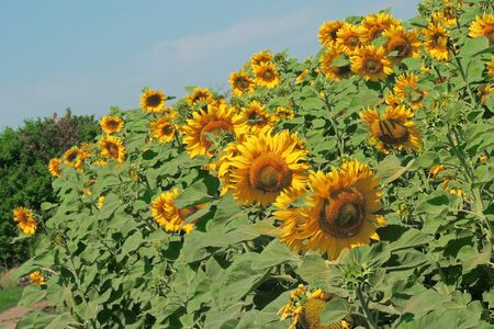 sunflower field over cloudy blue sky and bright sun lights Stock Photo