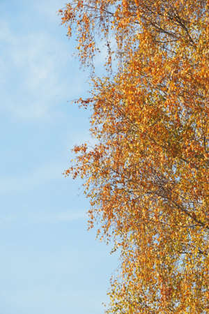 The branch of a birch tree with yellow leaves on a sunny autumn day.