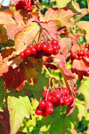 branch of red viburnum in the garden Editorial