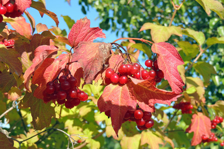 guelder rose berry: branch of red viburnum in the garden Stock Photo