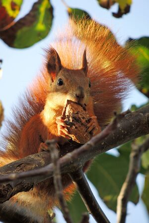 squirrel with a nut in his mouth on the tree