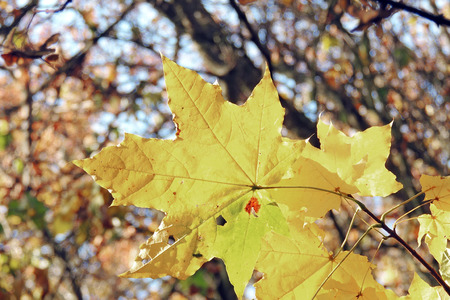 Bright autumn leaves in the natural environment. Autumn maple yellow orange nature background
