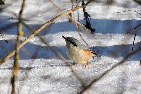 Robin red breast snow scene. Bird on snow tree