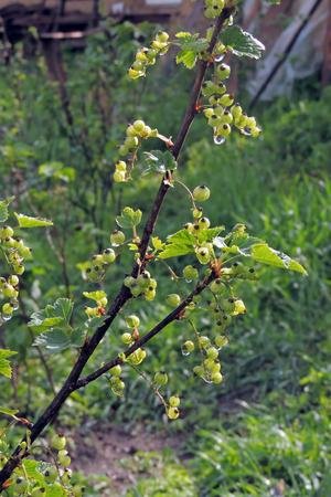 bunchy: The branches of a bush with clusters of white currants fruit