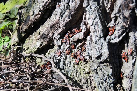 wingless: Bedbug-soldier on a tree trunk, red-black beetle, super macro mode Stock Photo