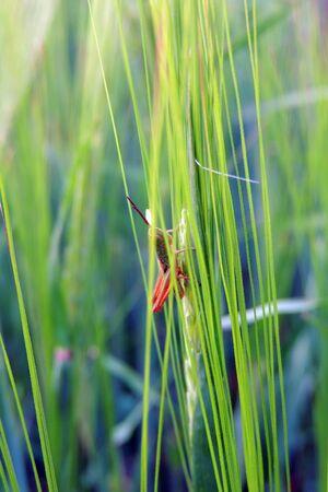 nectar: Close up of a grasshopper on blades of grass
