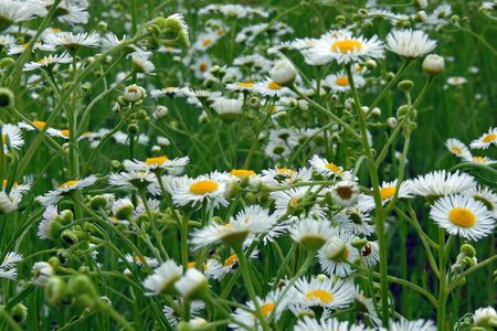 Daisy in a meadow rich in flowers at dawn.