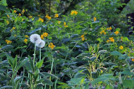 Medicinal herbs: Bright yellow flowers greater celandine Chelidonium majus  Stock Photo