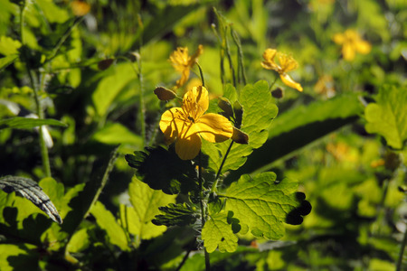 Medicinal herbs bright yellow flowers greater celandine chelidonium medicinal herbs bright yellow flowers greater celandine chelidonium majus stock photo 102675026 mightylinksfo